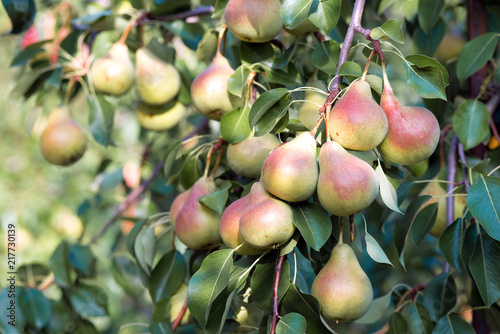 Harvest of ripe pears on branches.