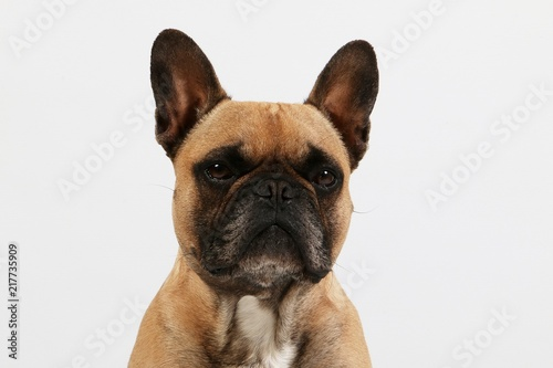 beautiful brown french bulldog head portrait in the white studio