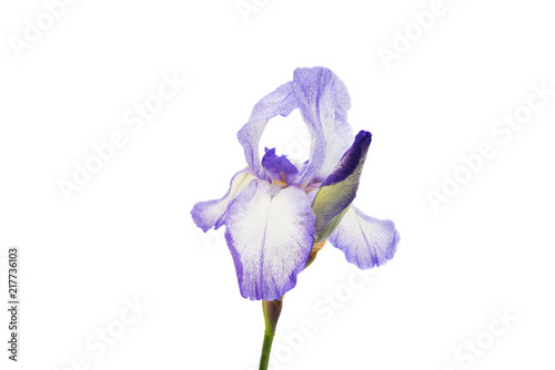 Staande foto Iris iris flower isolated