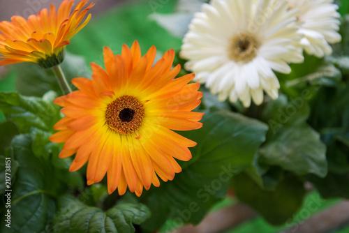 Fotobehang Gerbera Orange gerbera flowers with leaves