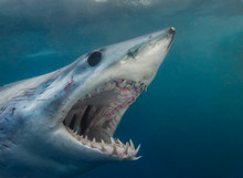 A Short Fin Mako Shark Showing...