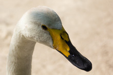 Head Of A White Swan