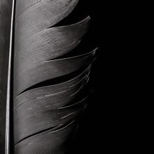 Bird Feather Texture, Close-up...