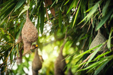 Nature Of Wildlife - Weaver Birds Catching On The Nest That Hanging On Bamboo Tree In The Forest