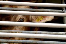Cow In A Truck Interior, Sad, ...