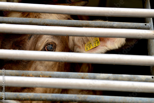 Photo Cow in a truck interior, sad, on the way to the slaughterhouse