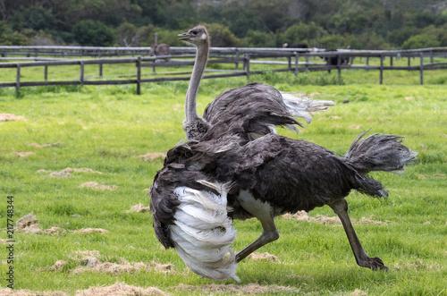 A running ostrich in an ostrich farm in Cape Town, South Africa