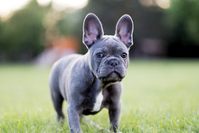 Close-up Portrait Of French Bulldog Standing On Grassy Field