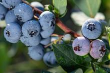 Fresh Organic Blueberries On T...