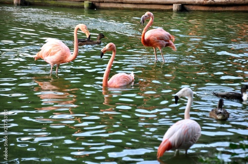 Foto op Aluminium Flamingo Group of American Flamingo (Phoenicopterus) standing in the lake at the garden in zoo park