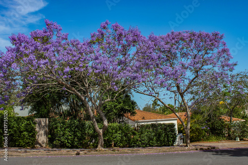 Vibrant purple Jacaranda Trees in bloom along a street in suburban Queensland Australia with tile roofs of homes and a brilliant bue sky behind