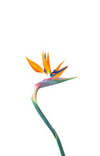 Bird Of Paradise Flower With A...