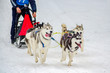 Sled dog Siberian Husky breed in harness. Husky dog has black and white fur color. Snowy background