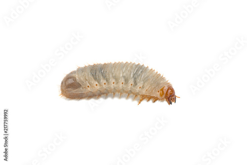Fotografía  larva of the May bug on a white background