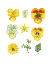 Pansy Set. Watercolor Hand Painted Pansies Flowers. Can Be Used As Print, Postcard, Invitation, Greeting Card, Packaging Design, Textile, Label, Stickers.