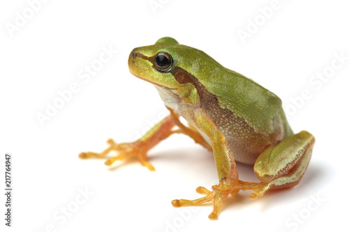 Ingelijste posters Kikker European tree frog (Hyla arborea) isolated on white