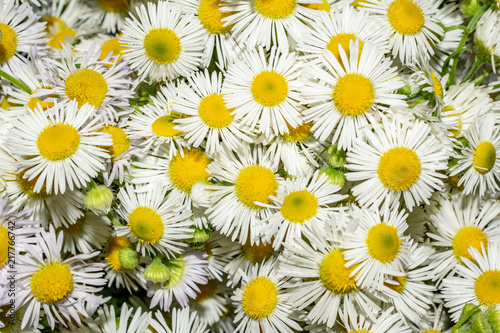 Foto op Plexiglas Bloemen texture of flowers chamomiles close-up of a summer still life