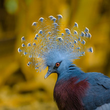 Beautiful Victoria Crowned Pigeon Proudly Displays His Headdress Of Plumes. The Eyes Are Pretty Red.