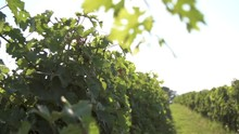 Sunny Rack Focus From Vine Leaves To Neat Vineyard