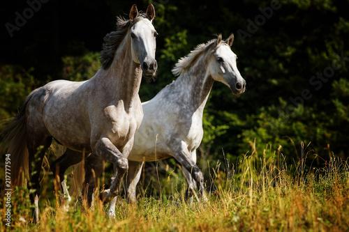 Fotografía  Trabende Pferde auf der Weide