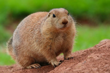 Prairie Dog Looking Forward
