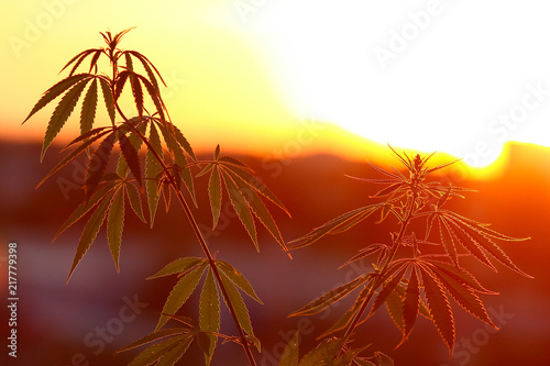 Foto op Canvas Geel Marijuana, cannabis plants before harvest in sunlight. Thematic photos of hemp. Outdoor cultivation silhouette plant. Warm shades of the setting sun