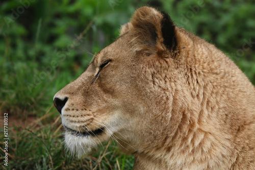 Foto op Plexiglas Leeuw Lion head portrait