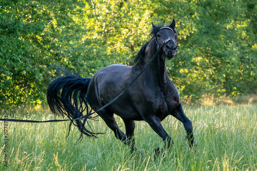 Black Friesian horse runs gallop in grass. Friesian horse running on halter. .Rare breed of horses