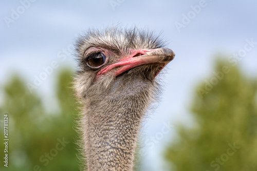 Staande foto Struisvogel The head of an ostrich closeup on a blurred background.