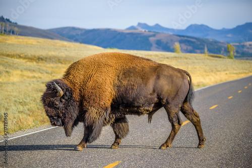 Large male bison blocking road