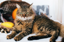 Angry Tabby Cat Sitting At Pumpkin And Zucchini In Cozy Wicker Basket In Light On Wooden Background. Harvest And Hello Autumn Concept With Space For Text. Happy Thanksgiving