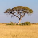 Fototapeta Sawanna - arbre savane Namibie nature désert safari