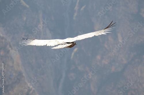 Photo Il volo del Condor sul Canyon de Colca
