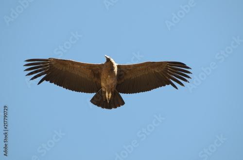 Fotografie, Obraz  Apertura alare del Condor Andino
