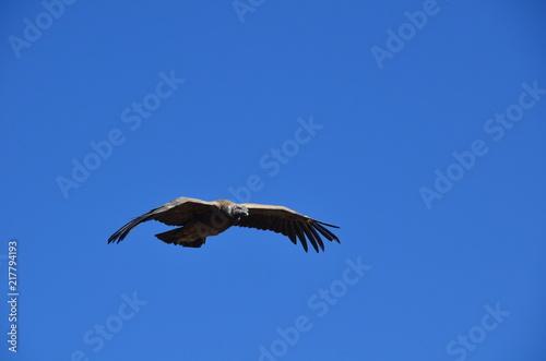 Fotografie, Obraz  Condor con apertura alare su cielo blu
