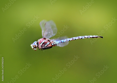Blue-eyed Darner Dragonfly Flying and Hovering in front of a Green Background