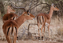 A Male Impala Controls His Har...