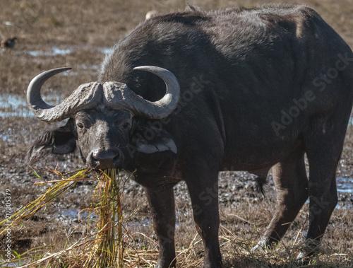 Keuken foto achterwand Buffel Cape buffalo eats hippo grass from a marsh