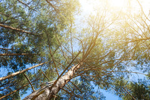 Trees , Sunshine And Blue Sky - Pine Tree Forest