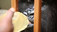 Gorilla Drinking From Bottle S...