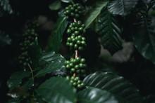 Wild Coffee Arabica Dark Green Coffee In Nature
