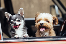 Two Dogs Are Out Facing With A Smile From The Window Of The Car