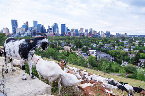 Targeted Grazing Using Goats for Control Weeds in Calgary
