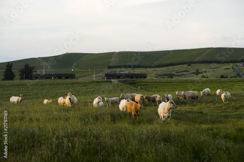 Fotografie, Obraz  Approaching Cows 2