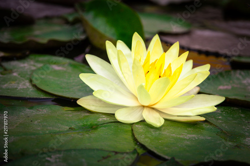 Foto op Canvas Lotusbloem Beautiful blooming yellow lotus with yellow pollen and green leaves floating on pond