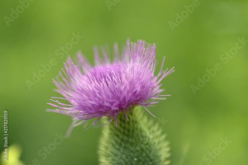 Fotografie, Obraz  Isolated blooming scottish thistle