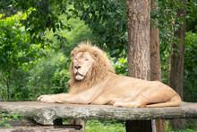 Male Lion Laying Alone