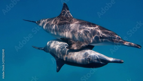 Fotografie, Obraz  Couple of wild bootlenose dolphins copulating