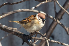A Sparrow On A Bare Branch Of ...
