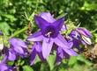Beautiful campanula flowers